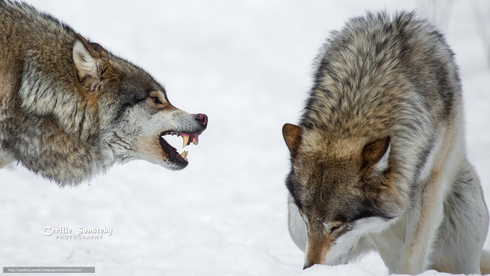 scaricare gli sfondi lupo,  Lupi,  animali,  inverno Sfondi gratis per la risoluzione del desktop 4568x2570 — immagine №655020