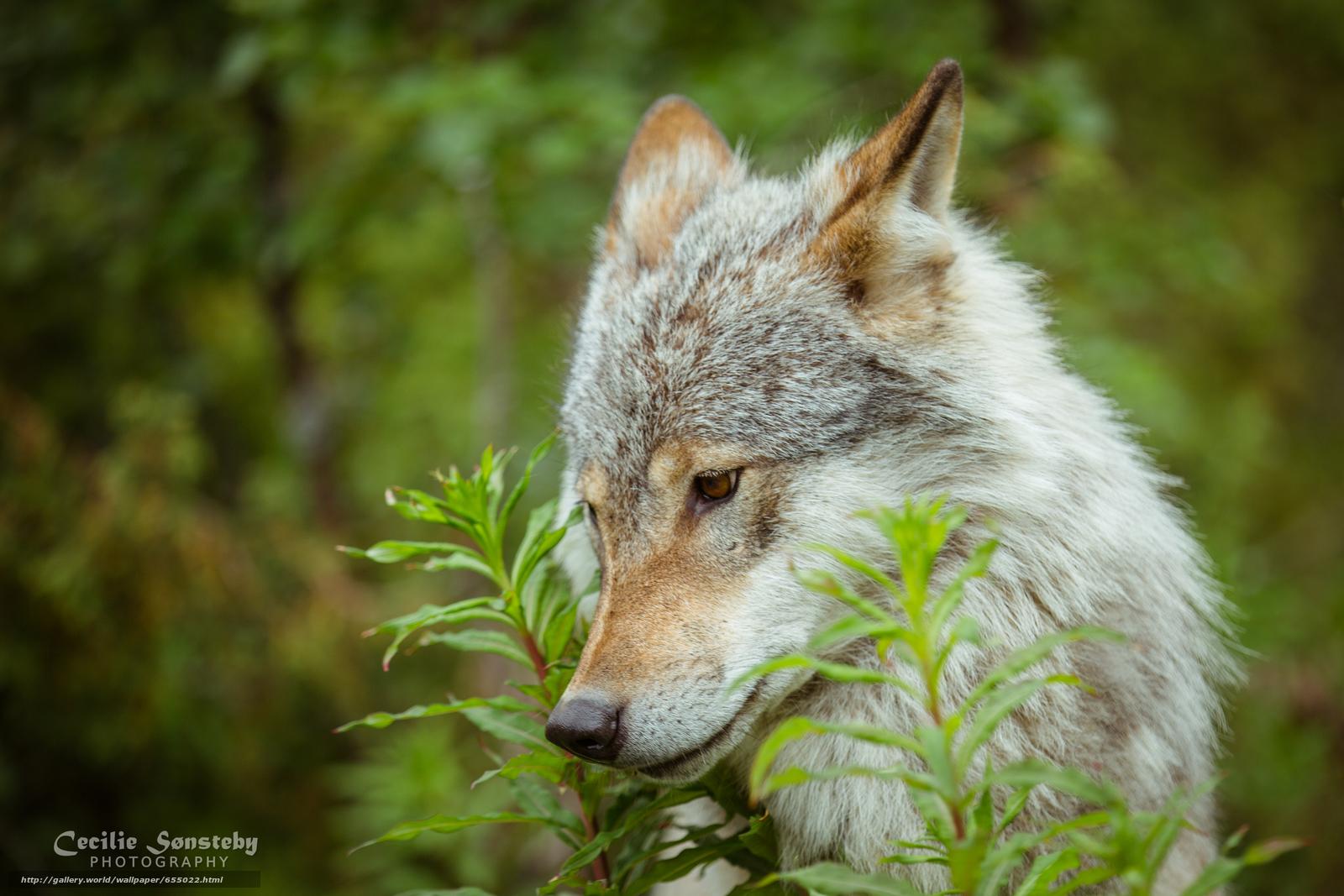 Скачать обои волк,  волки,  животные,  лето бесплатно для рабочего стола в разрешении 4948x3299 — картинка №655022