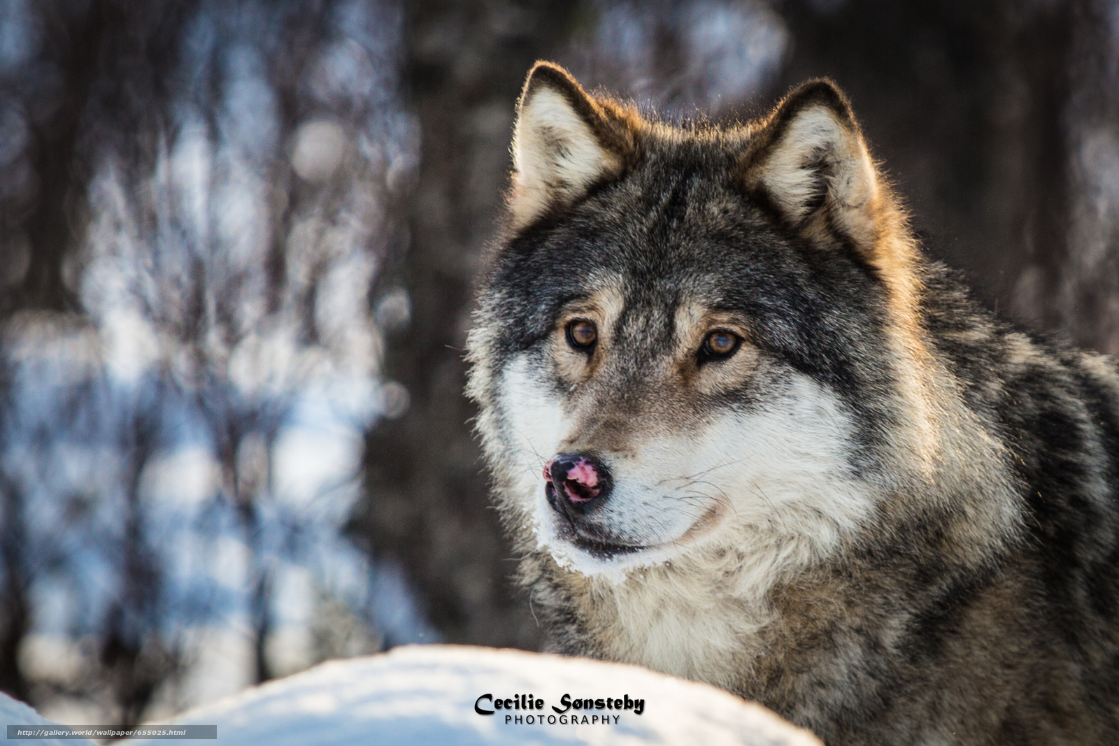Download wallpaper wolf,  Wolves,  animals,  winter free desktop wallpaper in the resolution 2211x1474 — picture №655025