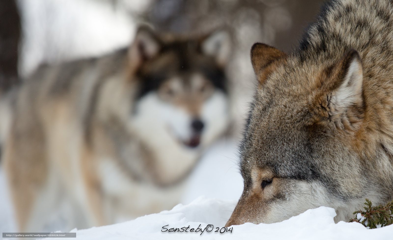 Download wallpaper wolf,  Wolves,  animals,  winter free desktop wallpaper in the resolution 3722x2274 — picture №655028