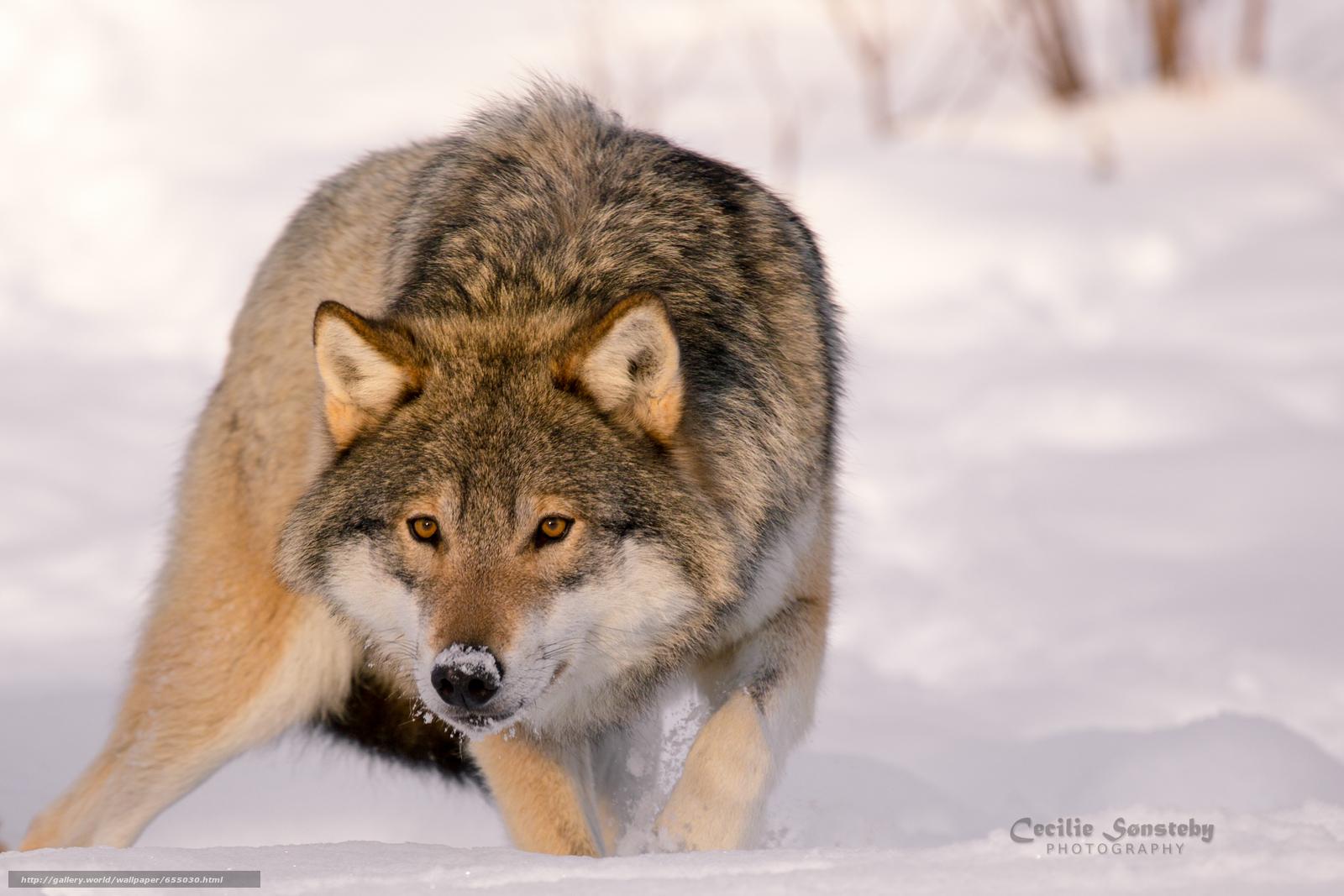 scaricare gli sfondi lupo,  Lupi,  animali,  inverno Sfondi gratis per la risoluzione del desktop 2830x1887 — immagine №655030