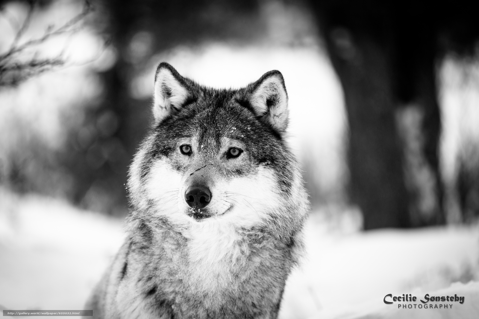 Download wallpaper wolf,  Wolves,  animals,  winter free desktop wallpaper in the resolution 5760x3840 — picture №655032