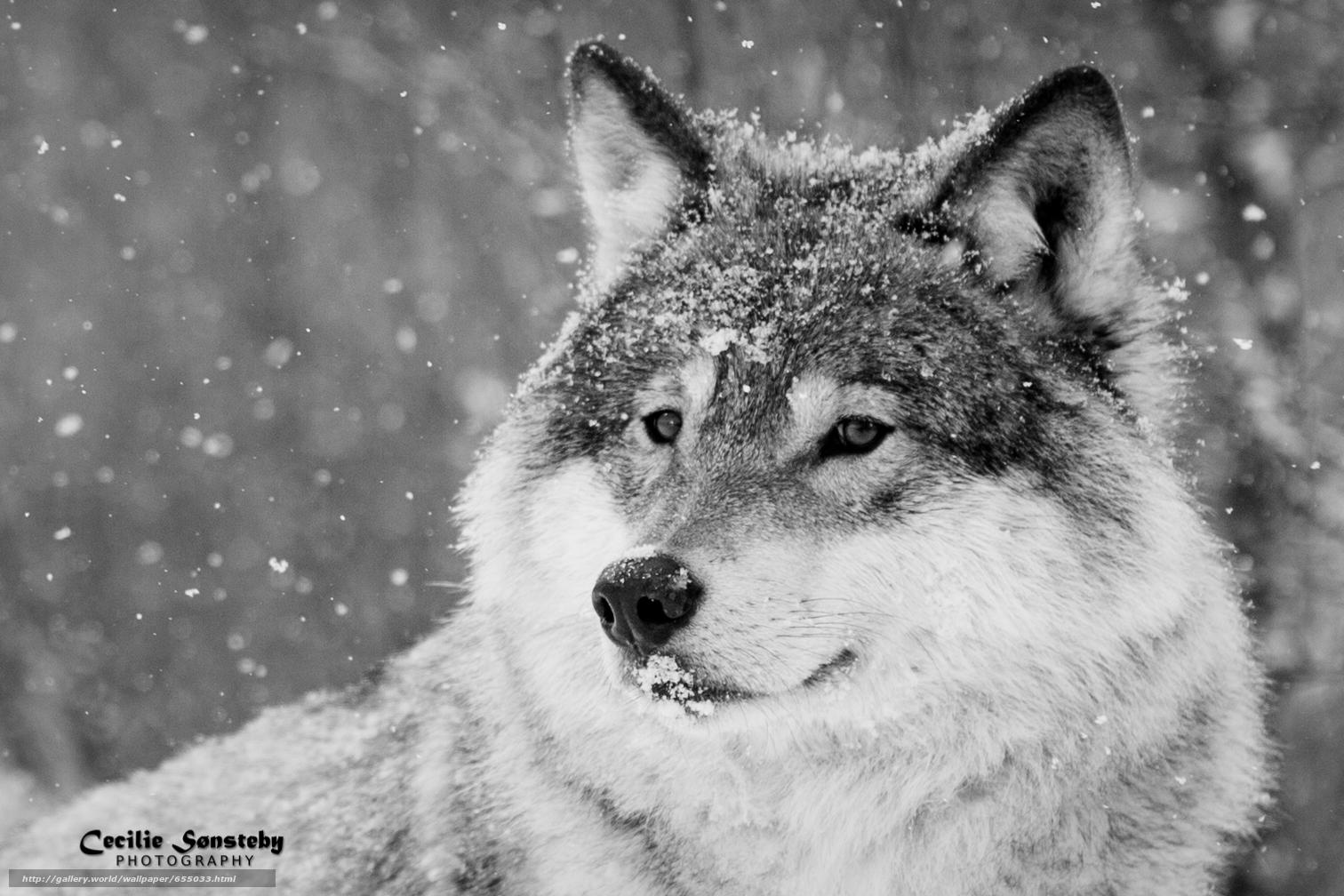 scaricare gli sfondi lupo,  Lupi,  animali,  inverno Sfondi gratis per la risoluzione del desktop 1512x1008 — immagine №655033
