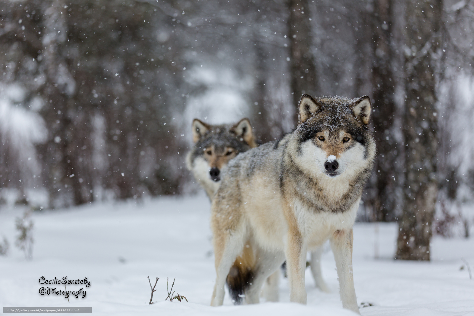 Download wallpaper wolf,  Wolves,  animals,  winter free desktop wallpaper in the resolution 5760x3840 — picture №655038