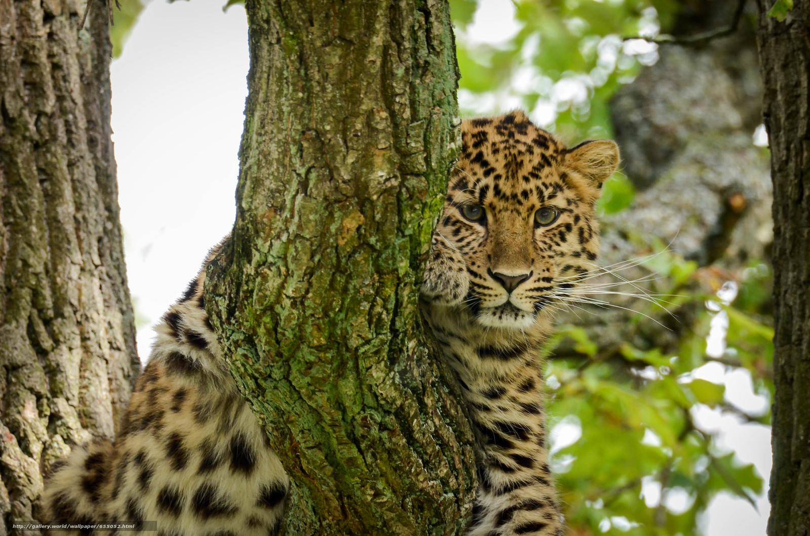 Download wallpaper leopard,  predator,  view,  animal free desktop wallpaper in the resolution 4928x3264 — picture №655052