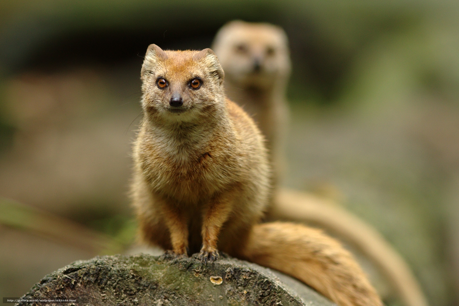 Download wallpaper mongoose,  mongoose,  animal free desktop wallpaper in the resolution 2000x1332 — picture №655056