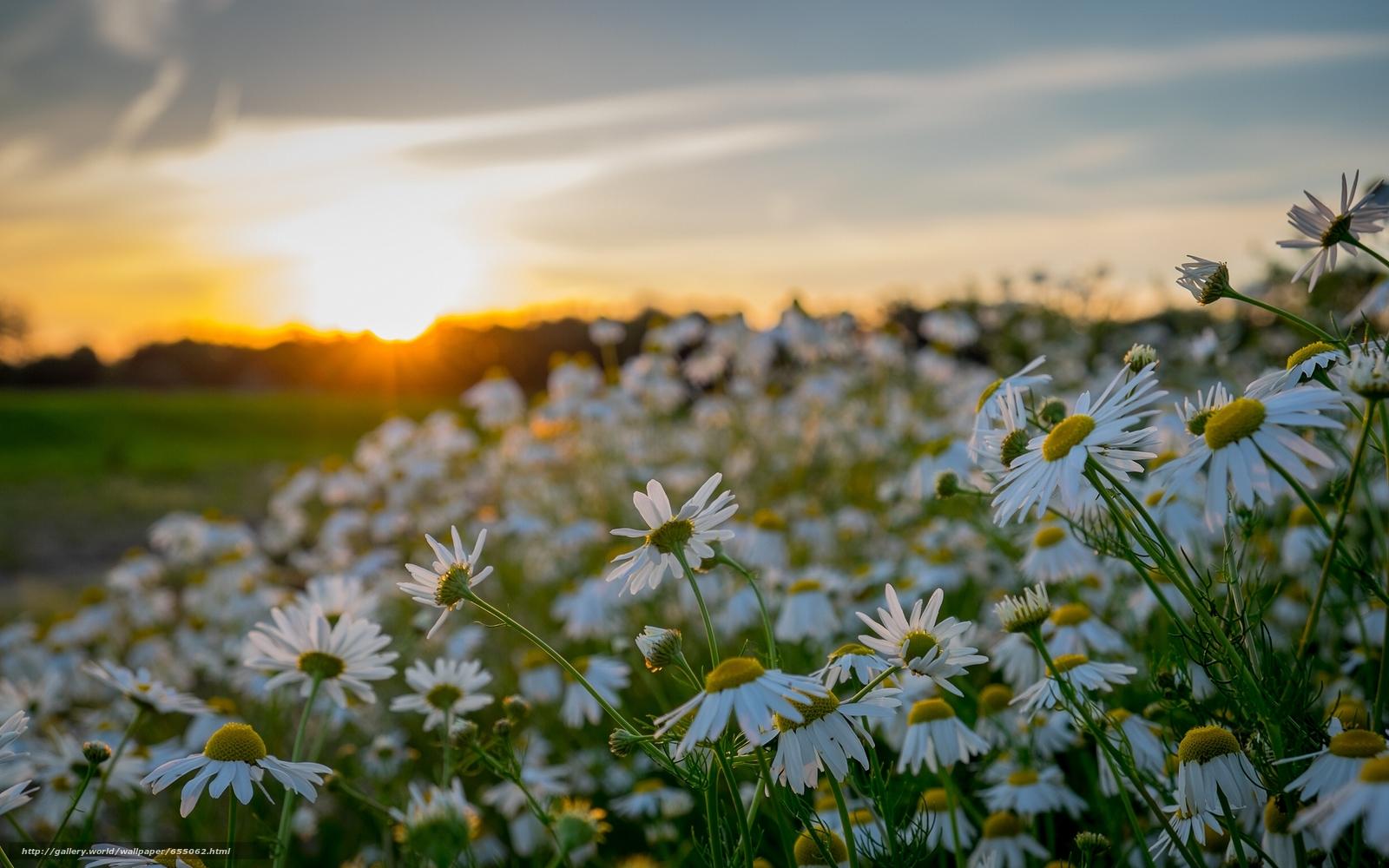 Скачать обои закат,  ромашки,  цветы бесплатно для рабочего стола в разрешении 2440x1525 — картинка №655062