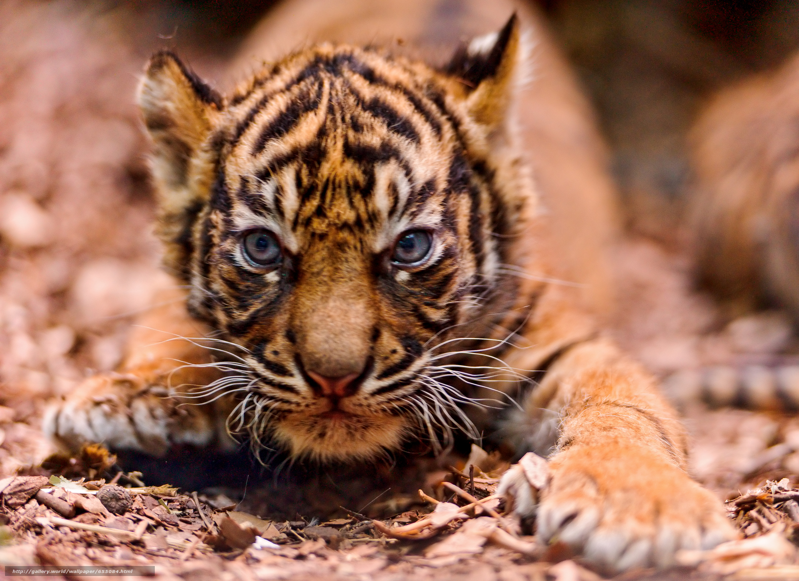 Download wallpaper tiger,  tiger cub,  cubs,  wildcats free desktop wallpaper in the resolution 3844x2796 — picture №655084