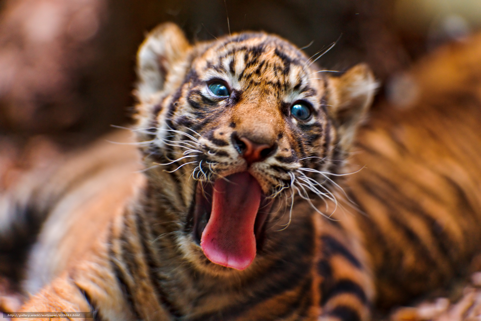 Download wallpaper tiger,  tiger cub,  cubs,  wildcats free desktop wallpaper in the resolution 3806x2537 — picture №655085
