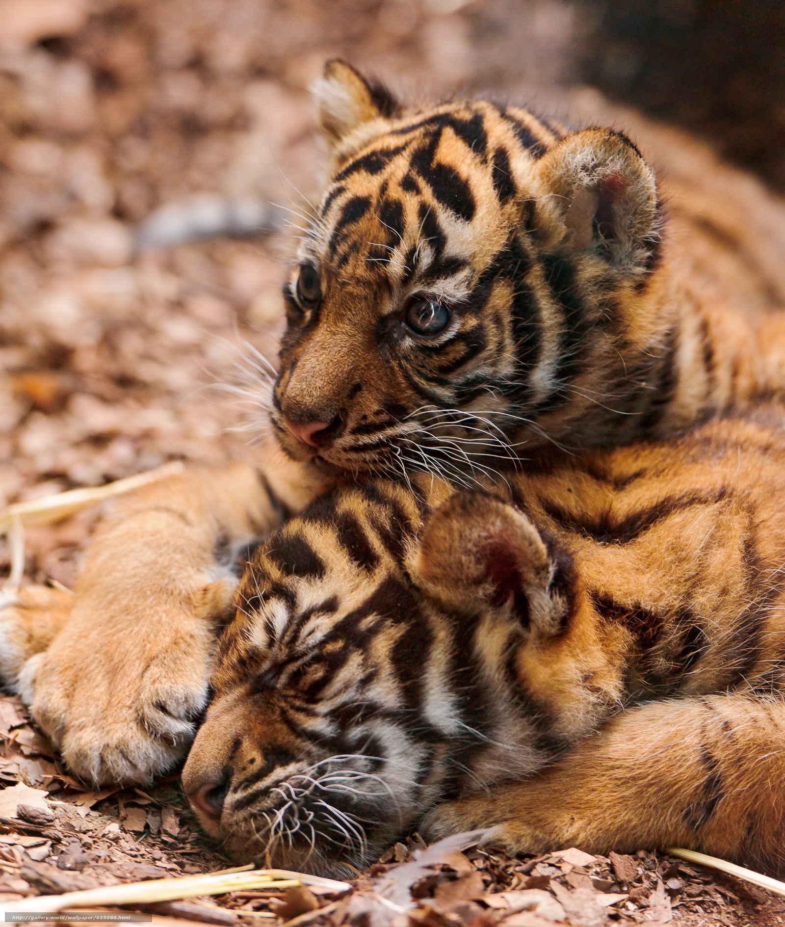 Download wallpaper tiger,  tiger cub,  cubs,  wildcats free desktop wallpaper in the resolution 2832x3343 — picture №655086