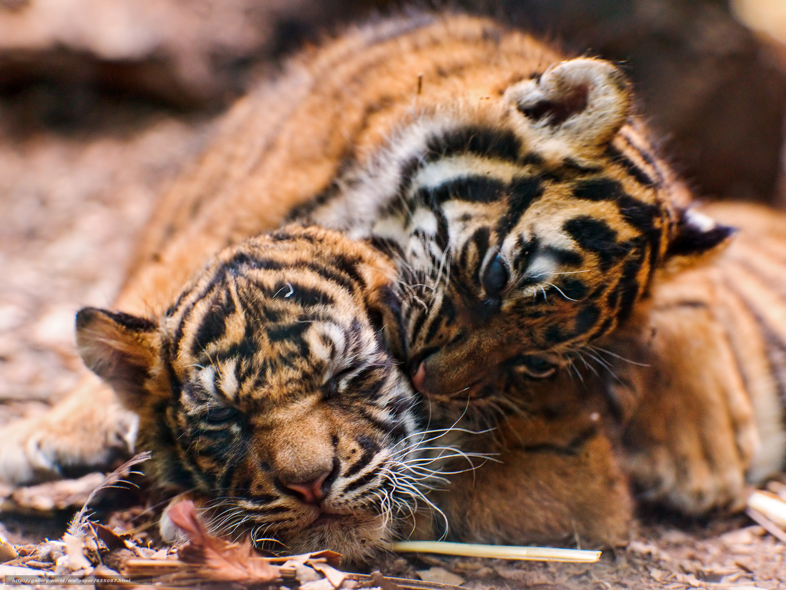 Download wallpaper tiger,  tiger cub,  cubs,  wildcats free desktop wallpaper in the resolution 3257x2444 — picture №655087