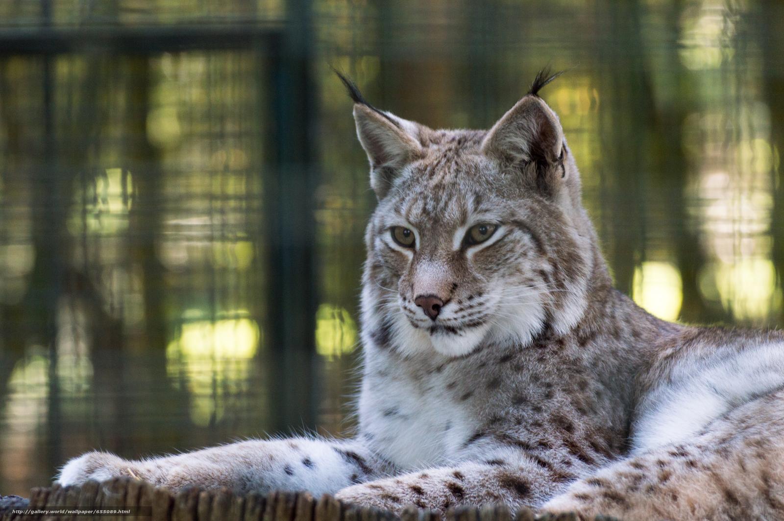 scaricare gli sfondi lince,  Lynx,  gatto,  natura Sfondi gratis per la risoluzione del desktop 6016x4000 — immagine №655089