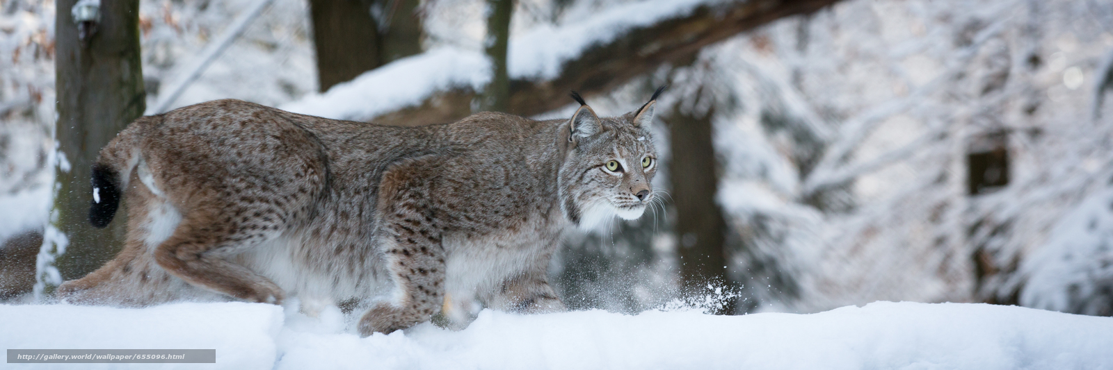 Download wallpaper lynx,  Lynx,  cat,  nature free desktop wallpaper in the resolution 5308x1767 — picture №655096