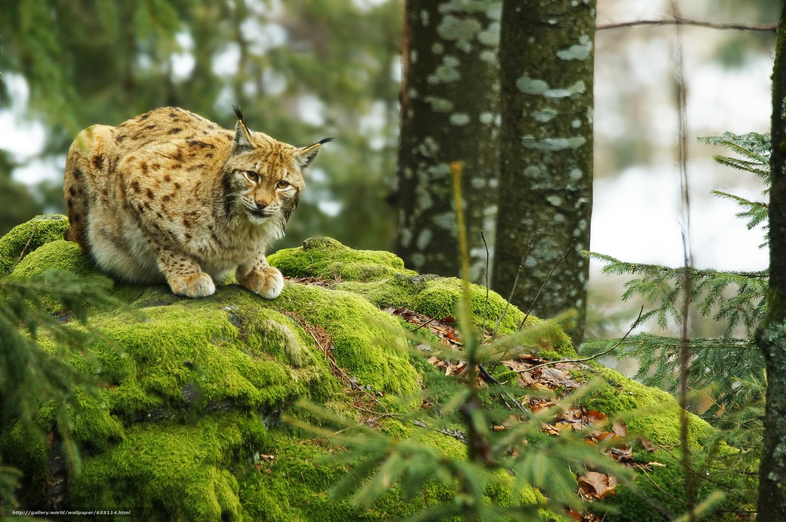 Tlcharger Fond d'ecran lynx,  Lynx,  cat,  nature Fonds d'ecran gratuits pour votre rsolution du bureau 4912x3264 — image №655114
