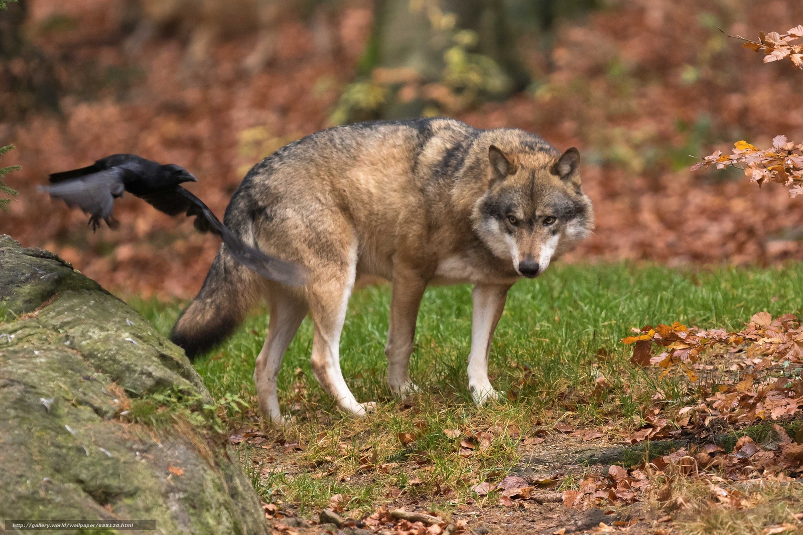 Tlcharger Fond d'ecran loup,  prédateur,  animaux Fonds d'ecran gratuits pour votre rsolution du bureau 3856x2571 — image №655120