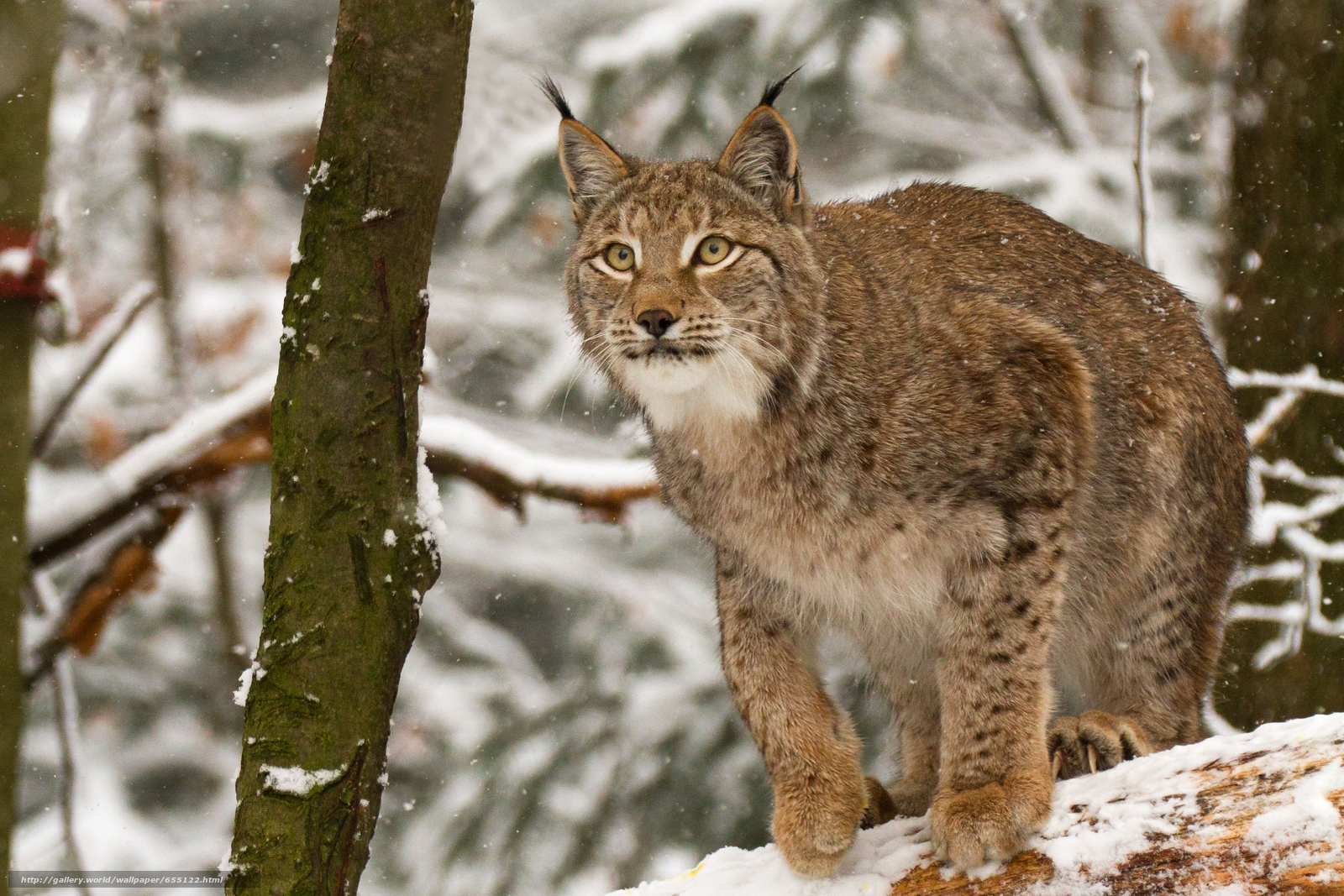 Download wallpaper lynx,  Lynx,  cat,  nature free desktop wallpaper in the resolution 3456x2304 — picture №655122