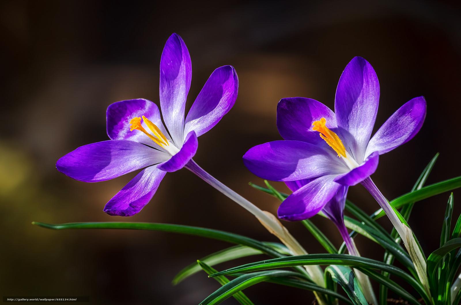 Скачать обои Crocuses,  крокусы,  цветы,  флора бесплатно для рабочего стола в разрешении 2048x1357 — картинка №655134