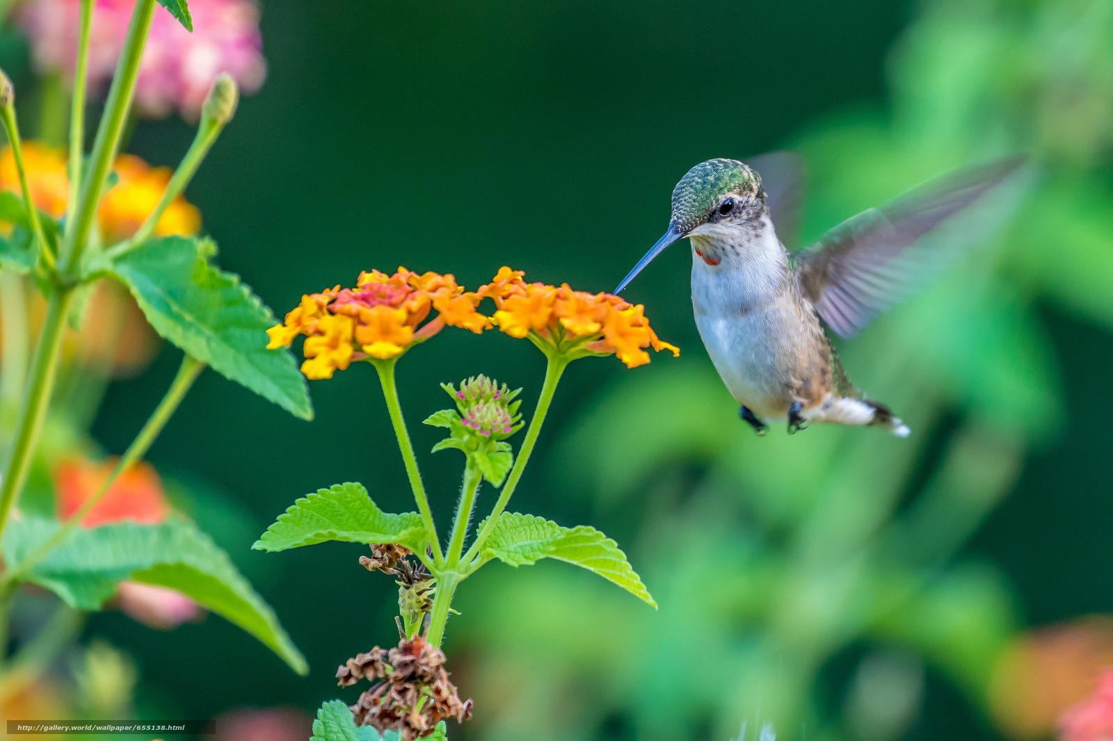 Download wallpaper colibri,  bird,  flower free desktop wallpaper in the resolution 2048x1365 — picture №655138