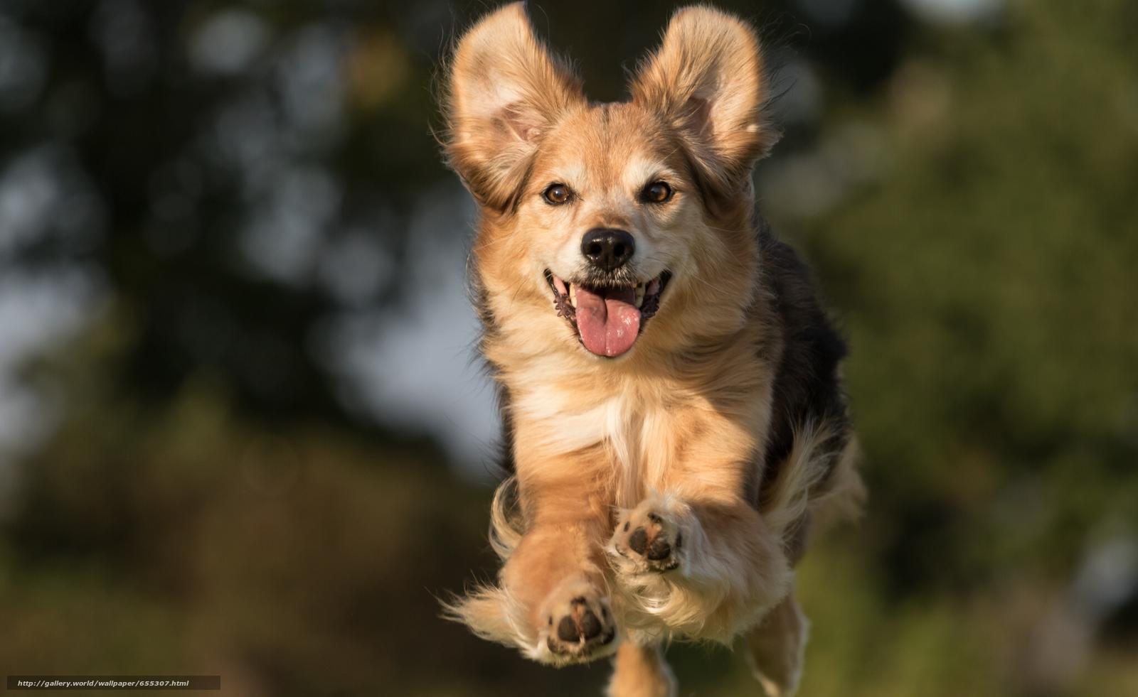 Скачать обои собака,  прыжок,  радость,  настроение бесплатно для рабочего стола в разрешении 2048x1256 — картинка №655307