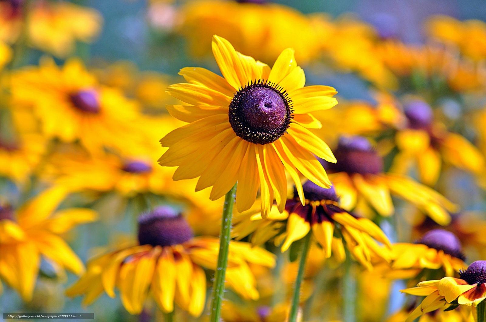 壁紙をダウンロード ルドベッキア,  太陽,  花びら,  ぼけ味 デスクトップの解像度のための無料壁紙 2048x1360 — 絵 №655311