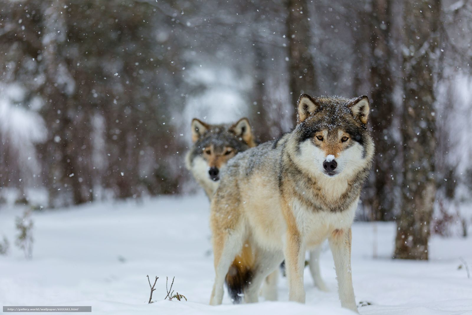 pobra tapety wilk,  Wolves,  zwierzęta,  zima Darmowe tapety na pulpit rozdzielczoci 5760x3840 — zdjcie №655381