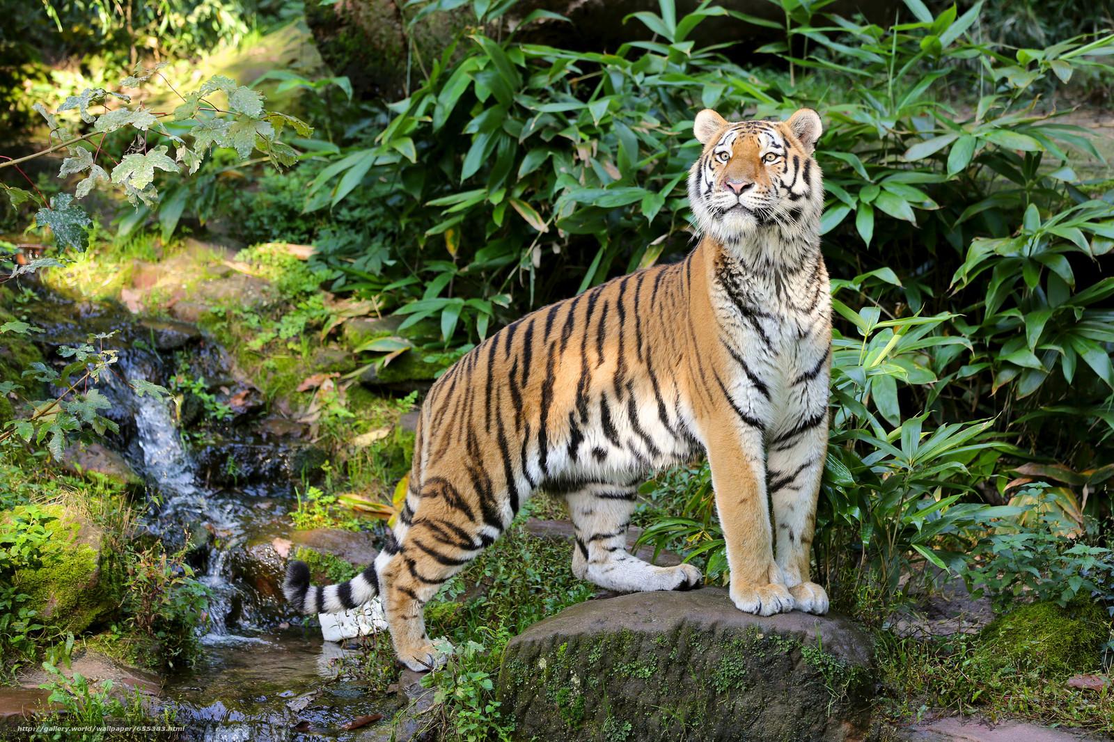 Download wallpaper tiger,  predator,  view free desktop wallpaper in the resolution 2048x1365 — picture №655383
