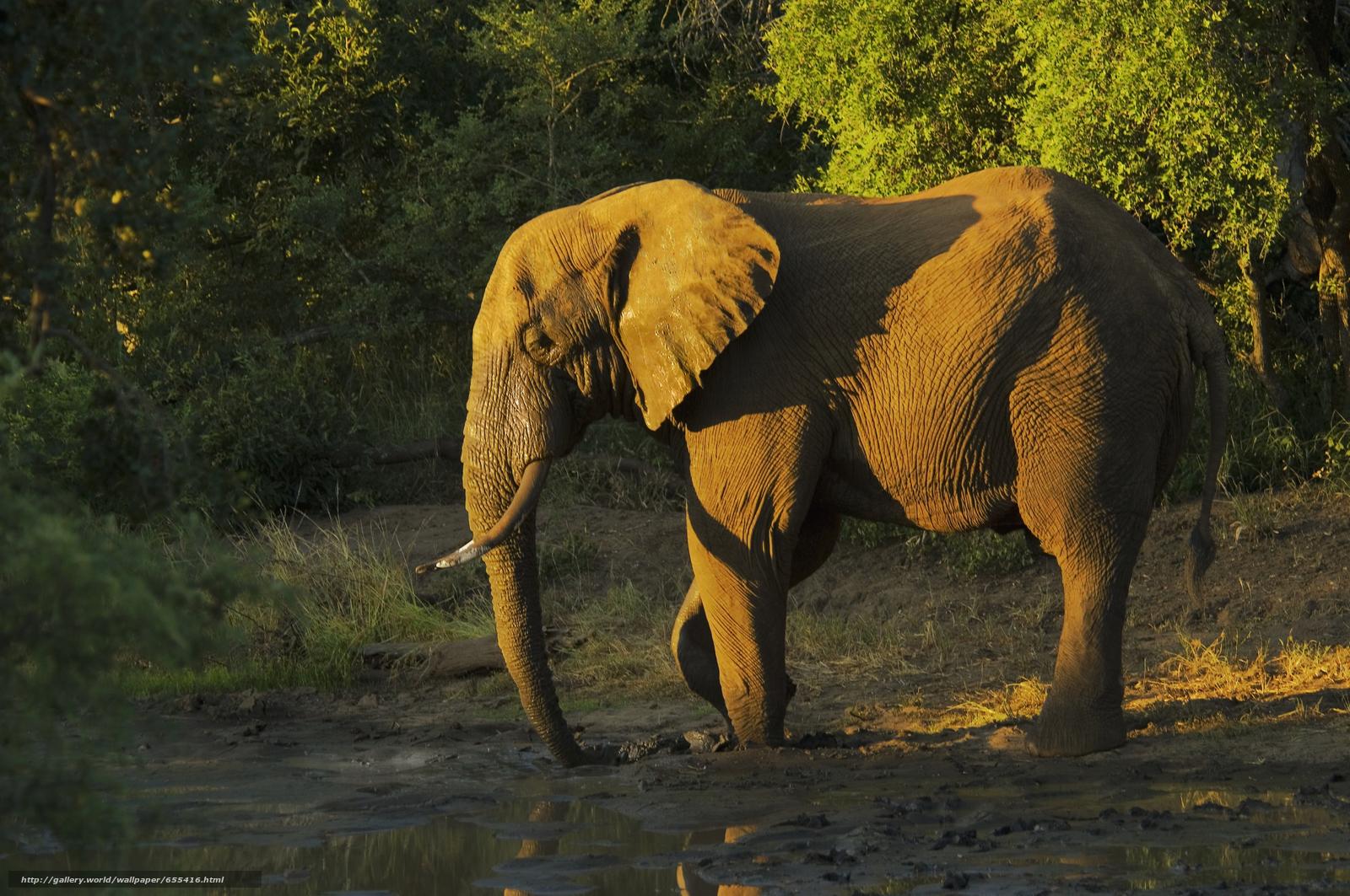 壁紙をダウンロード アフリカ,  アフリカの動物,  フォトsketchings博物学,  象 デスクトップの解像度のための無料壁紙 5618x3732 — 絵 №655416