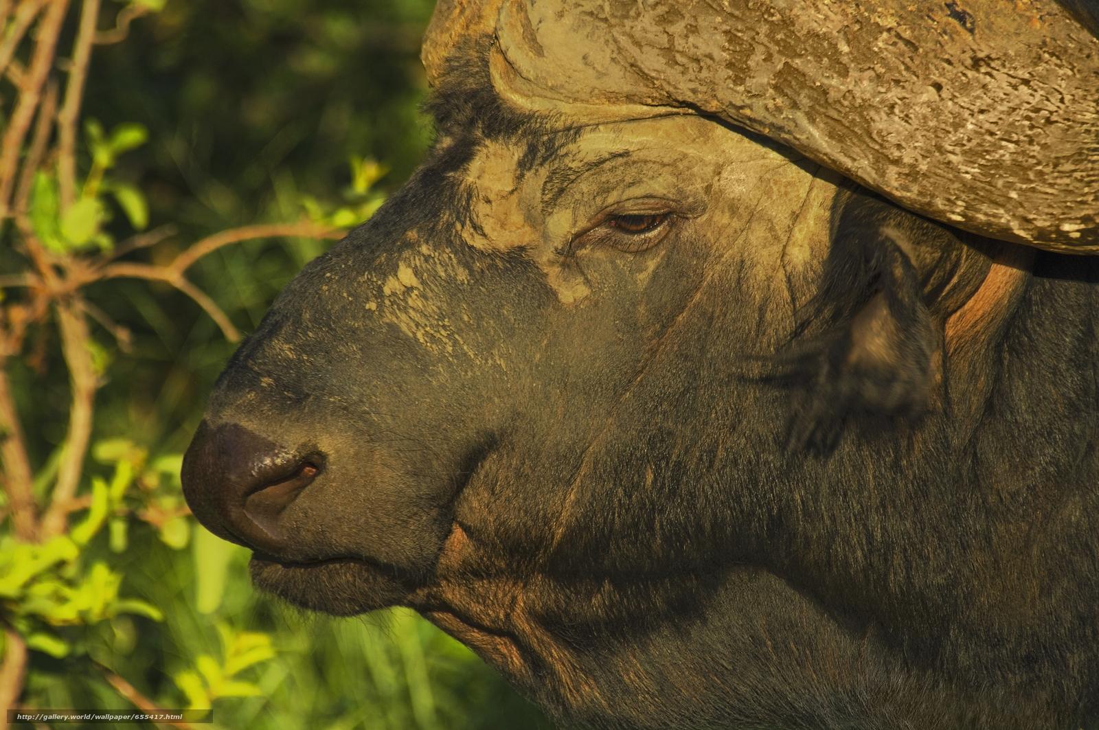 壁紙をダウンロード アフリカ,  アフリカの動物,  フォトsketchings博物学,  バッファロー デスクトップの解像度のための無料壁紙 5619x3732 — 絵 №655417