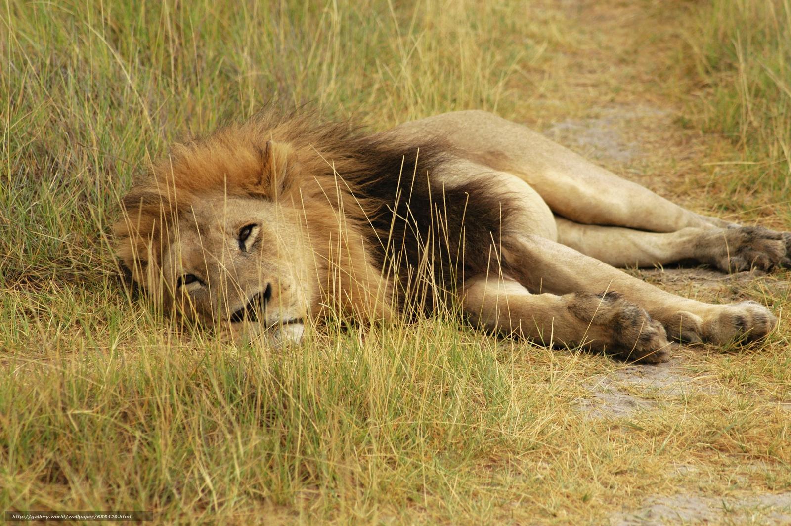 Baixar Wallpaper África,  Animais africanos,  foto-sketchings naturalista,  leão Papis de parede grtis na resoluo 5616x3734 — quadro №655420