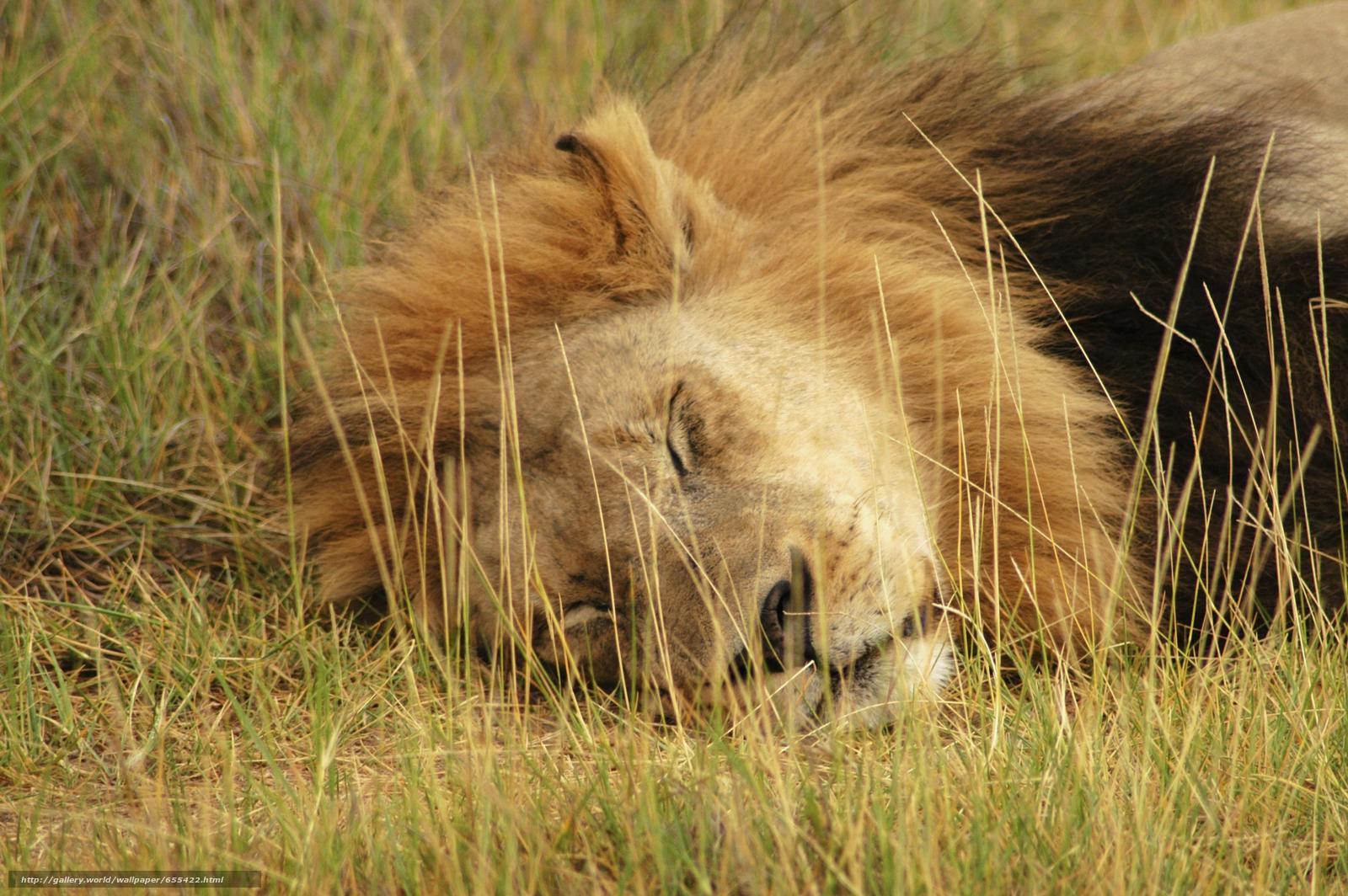Baixar Wallpaper África,  Animais africanos,  foto-sketchings naturalista,  leão Papis de parede grtis na resoluo 5616x3734 — quadro №655422
