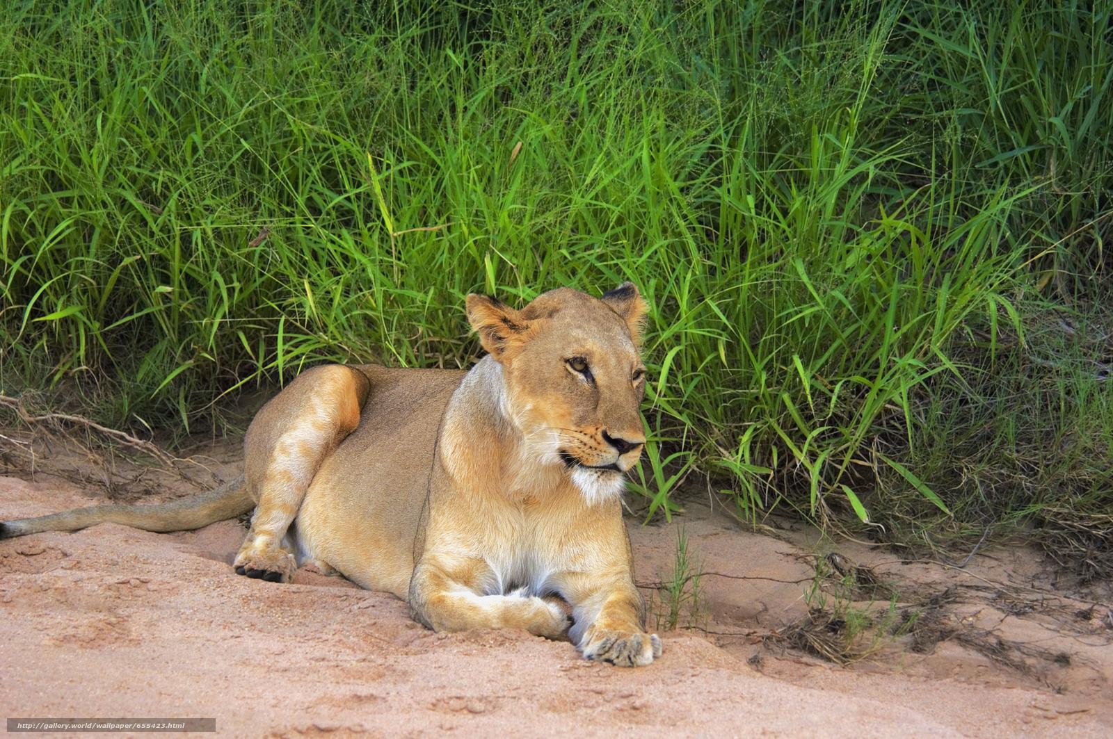 Baixar Wallpaper África,  Animais africanos,  foto-sketchings naturalista,  leão Papis de parede grtis na resoluo 5619x3732 — quadro №655423