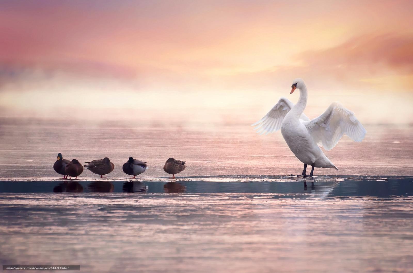 Download Hintergrund Schwan,  Ente,  Vögel Freie desktop Tapeten in der Auflosung 2048x1357 — bild №655427