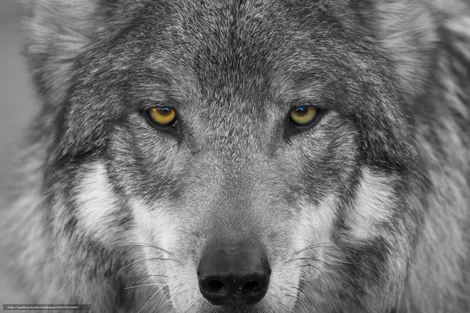Tlcharger Fond d'ecran loup,  prédateur,  Museau,  yeux Fonds d'ecran gratuits pour votre rsolution du bureau 5904x3936 — image №655432