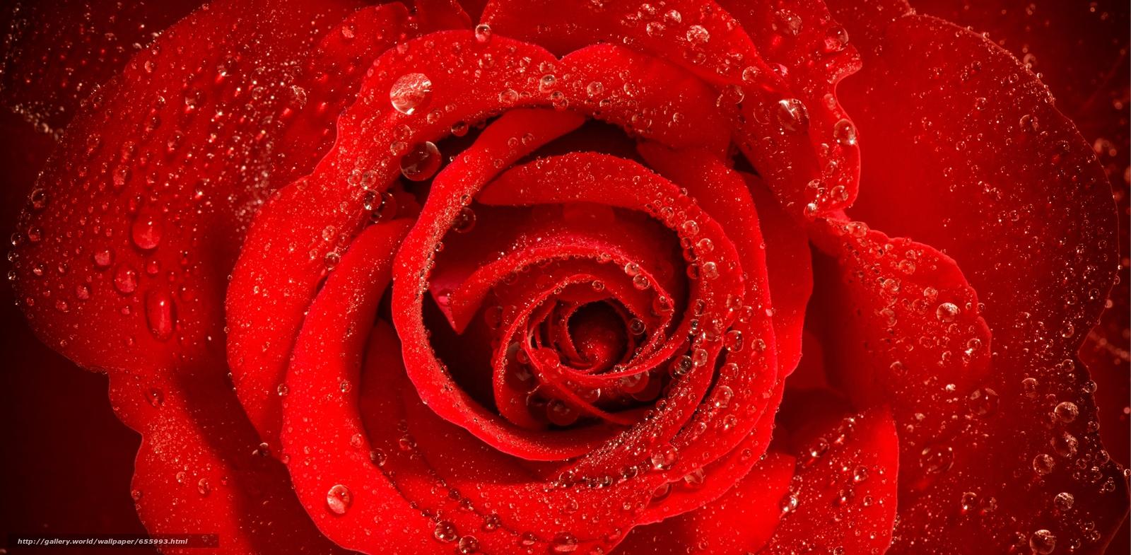 Download wallpaper rose,  BUD,  Petals,  drops free desktop wallpaper in the resolution 5265x2583 — picture №655993