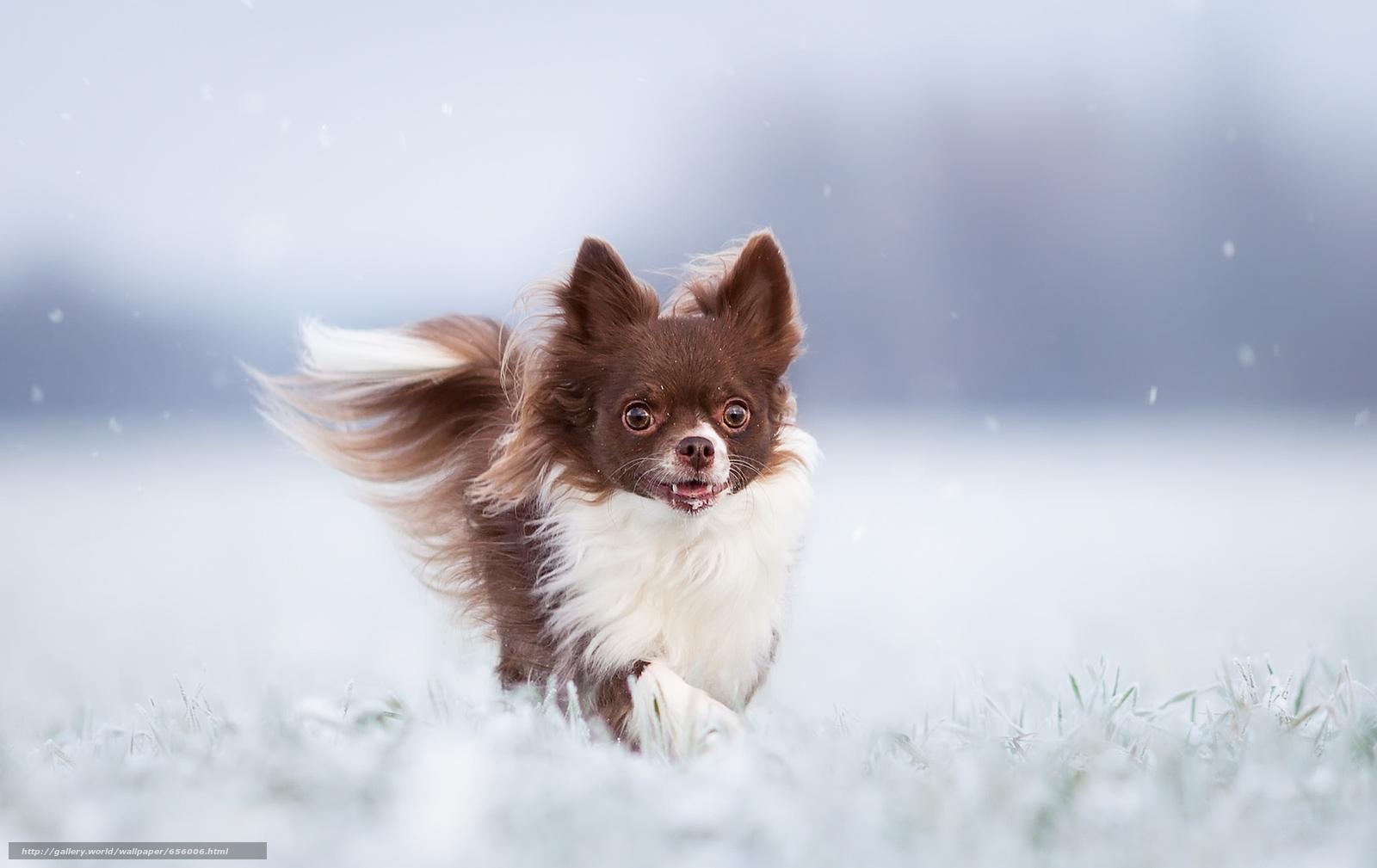 scaricare gli sfondi Chihuahua,  cane,  inverno Sfondi gratis per la risoluzione del desktop 2048x1292 — immagine №656006
