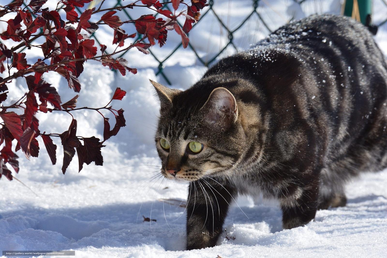 scaricare gli sfondi COTE,  gatto,  nevicata,  inverno Sfondi gratis per la risoluzione del desktop 2048x1366 — immagine №656017