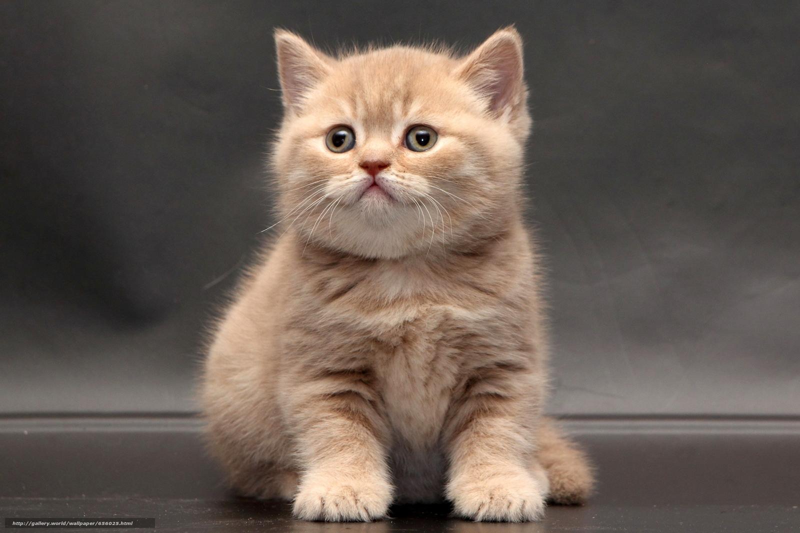 scaricare gli sfondi British Shorthair,  gattino,  bambino Sfondi gratis per la risoluzione del desktop 4170x2778 — immagine №656025