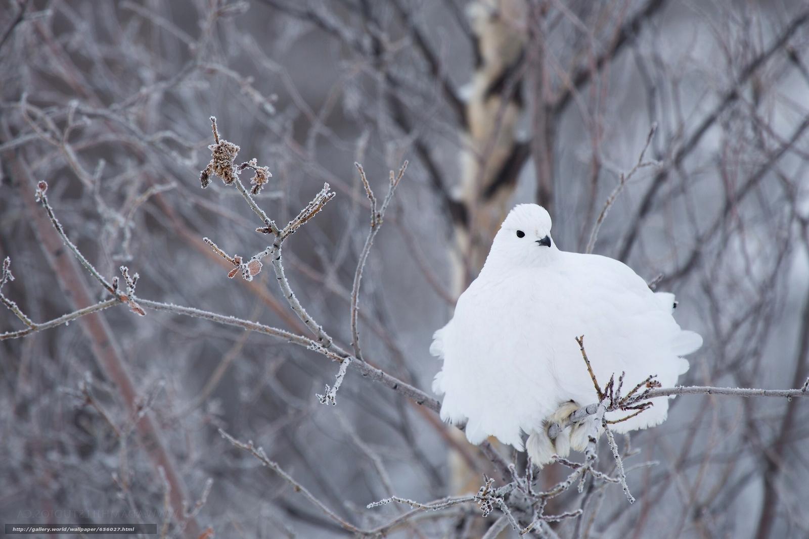 scaricare gli sfondi pernice dalla coda bianca,  pernice,  Bianco,  uccello Sfondi gratis per la risoluzione del desktop 2172x1448 — immagine №656027