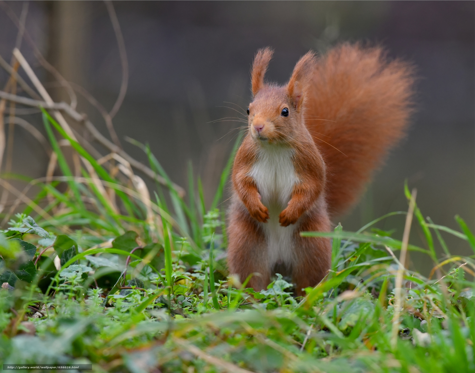 Download wallpaper squirrel,  Redhead,  rack,  grass free desktop wallpaper in the resolution 5952x4667 — picture №656028