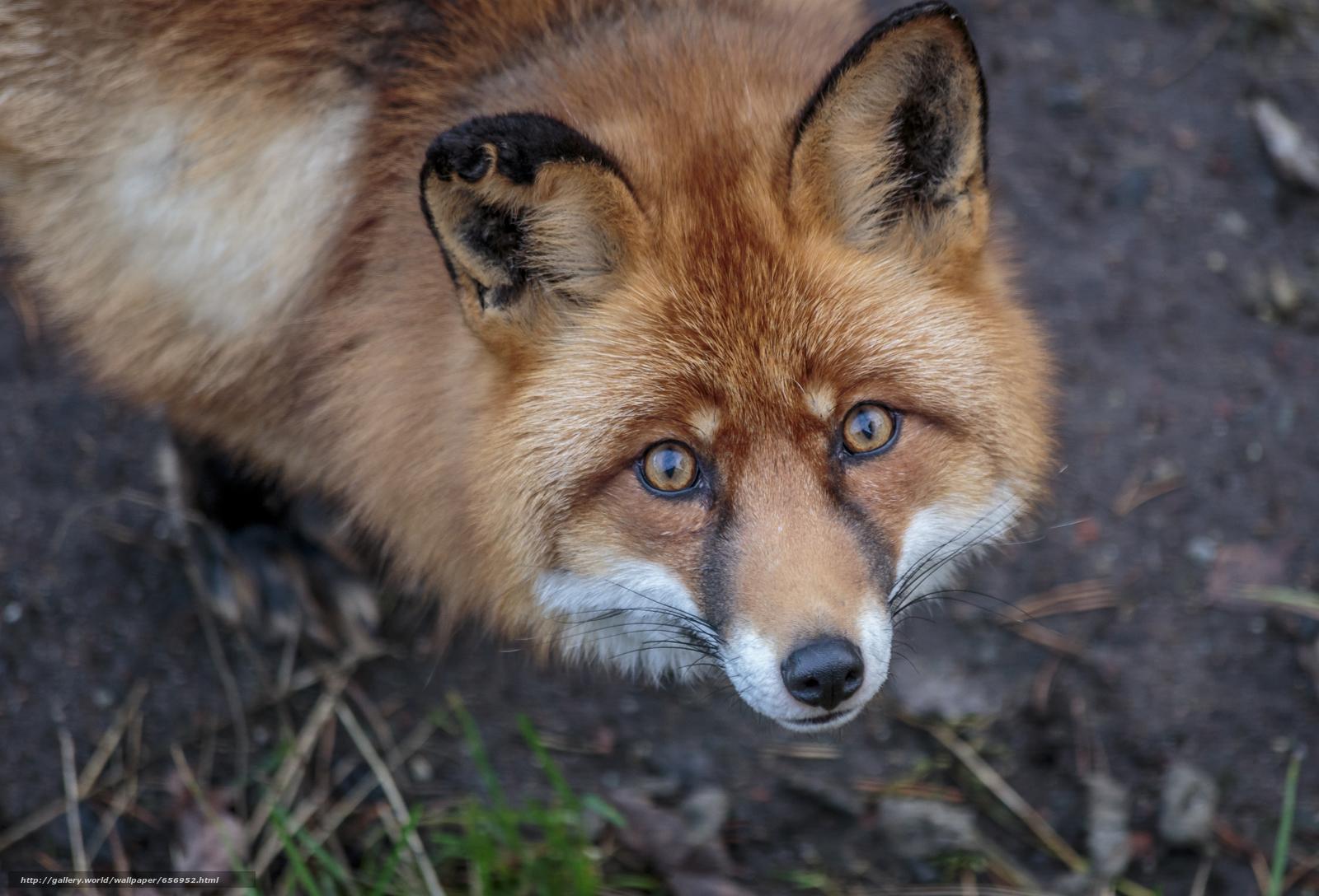 scaricare gli sfondi fox,  fox,  Redhead,  visualizzare Sfondi gratis per la risoluzione del desktop 4899x3332 — immagine №656952