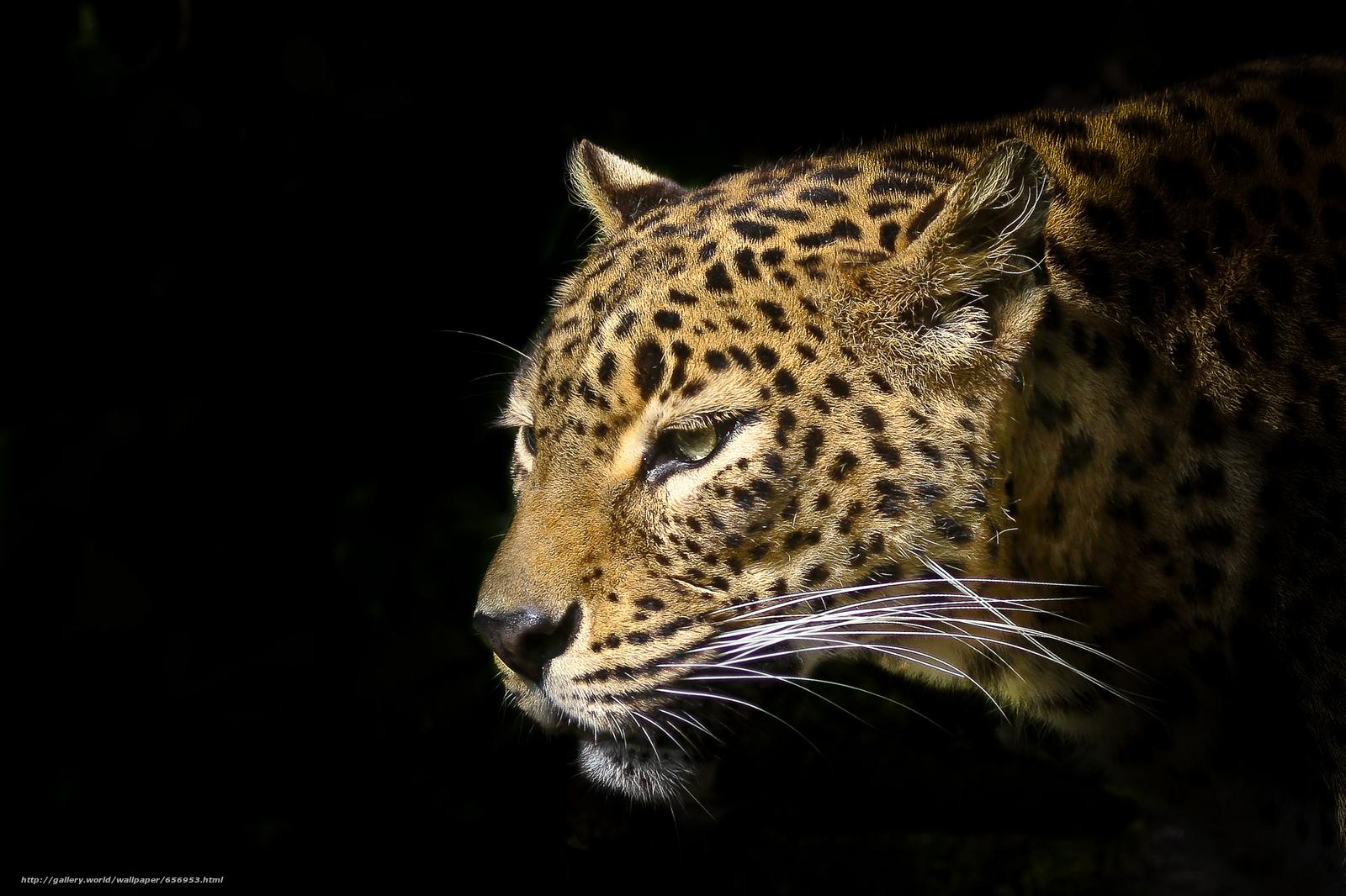 scaricare gli sfondi leopard,  predatore,  animale Sfondi gratis per la risoluzione del desktop 2527x1684 — immagine №656953