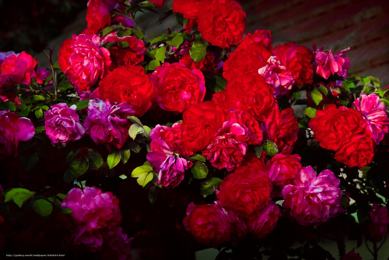 Скачать обои цветы,  розы,  флора бесплатно для рабочего стола в разрешении 3888x2592 — картинка №656954