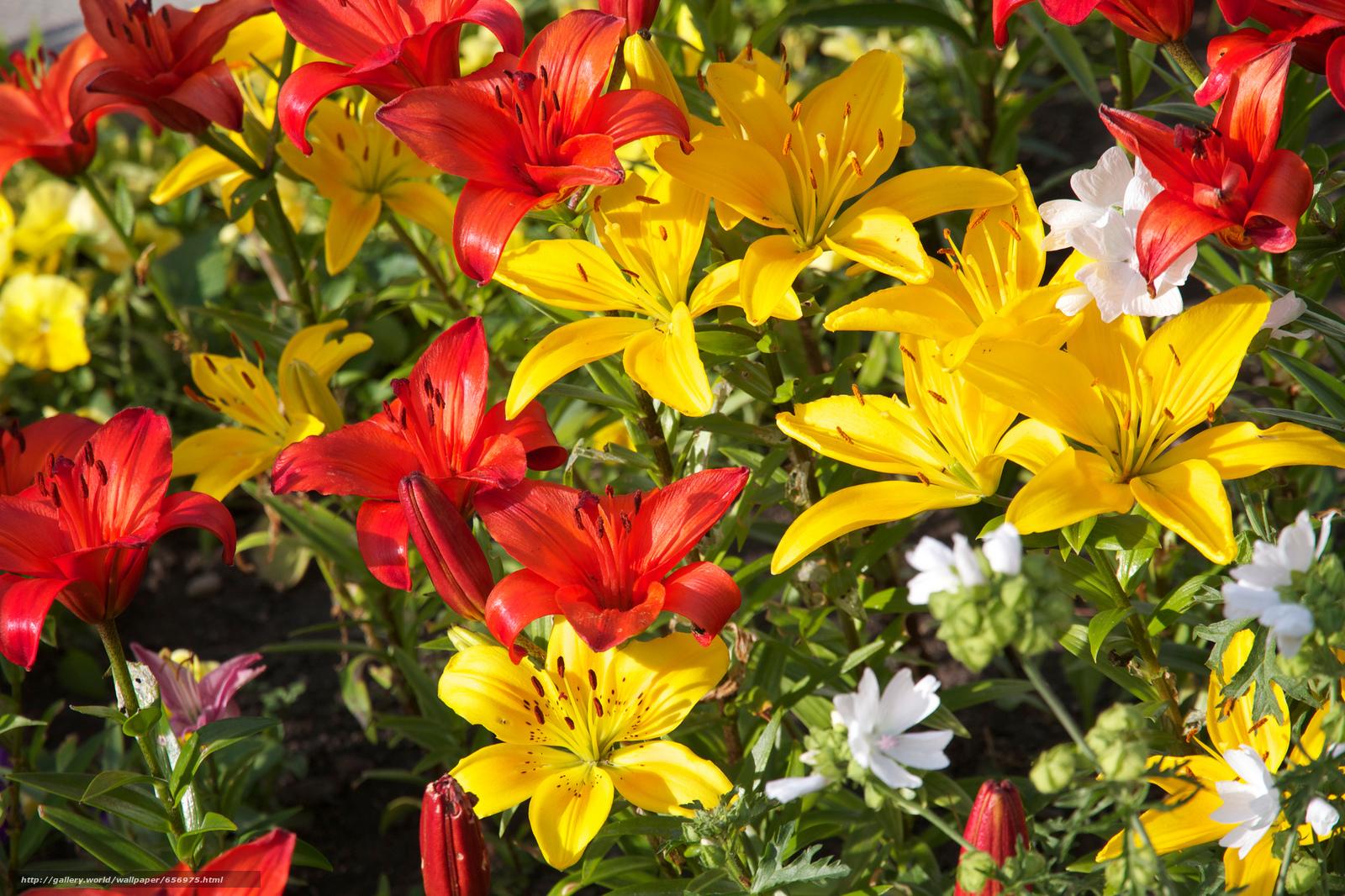scaricare gli sfondi Fiori,  Gigli,  flora Sfondi gratis per la risoluzione del desktop 2048x1365 — immagine №656975