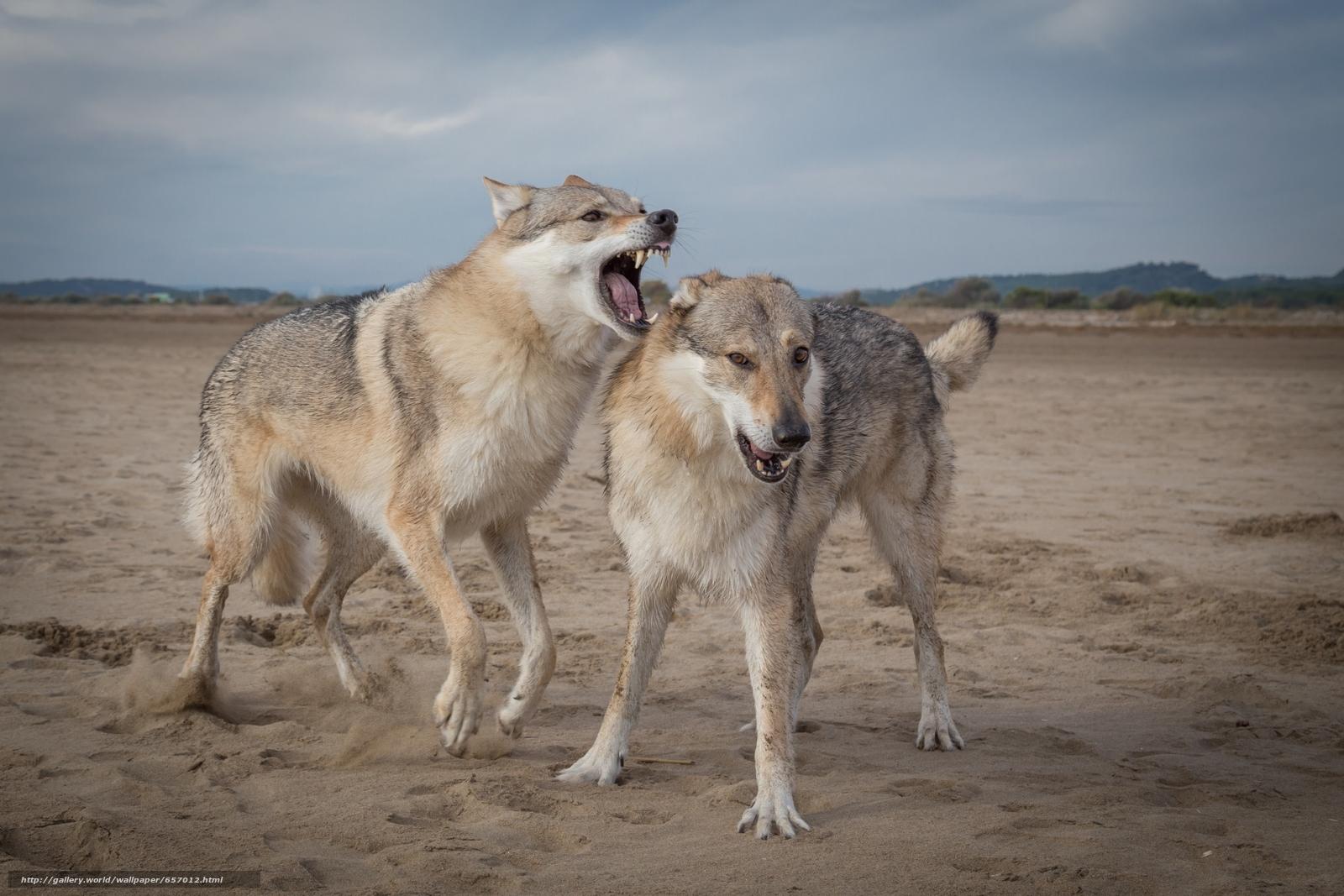 scaricare gli sfondi Lupi,  predatori,  animali Sfondi gratis per la risoluzione del desktop 4022x2681 — immagine №657012
