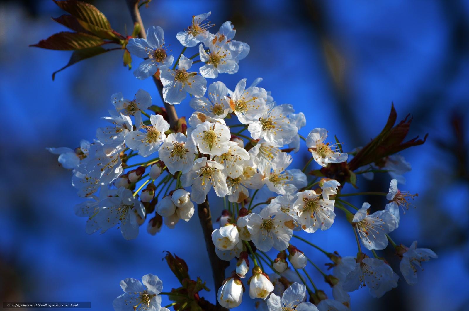 scaricare gli sfondi fiori di ciliegio,  flora,  Fiori Sfondi gratis per la risoluzione del desktop 4928x3264 — immagine №657043