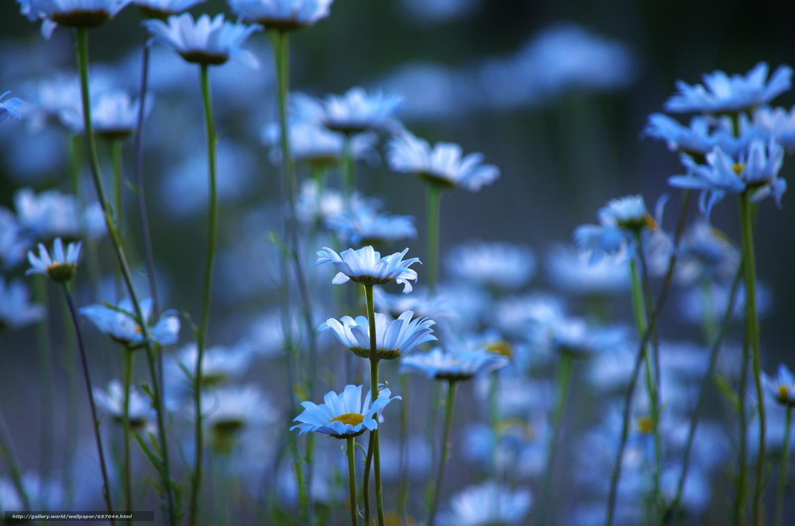 Скачать обои ромашки,  цветы,  макро бесплатно для рабочего стола в разрешении 4928x3264 — картинка №657044