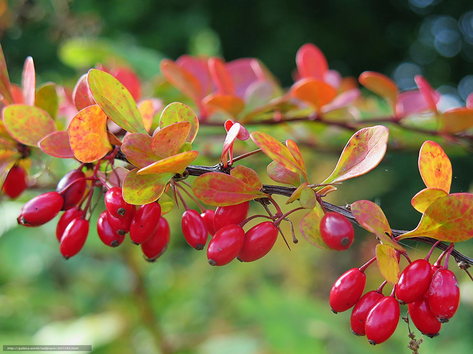 Скачать обои ветка,  ягоды,  плоды,  листья бесплатно для рабочего стола в разрешении 2048x1536 — картинка №657753