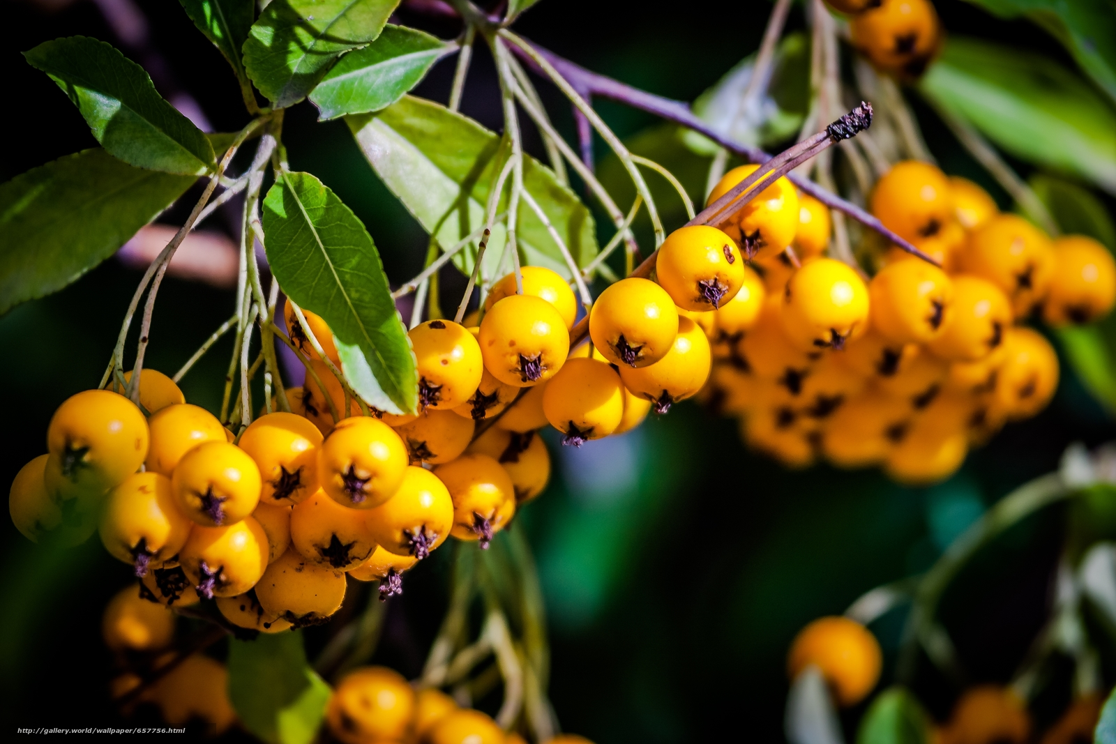 Скачать обои ветка,  ягоды,  плоды,  листья бесплатно для рабочего стола в разрешении 4272x2848 — картинка №657756