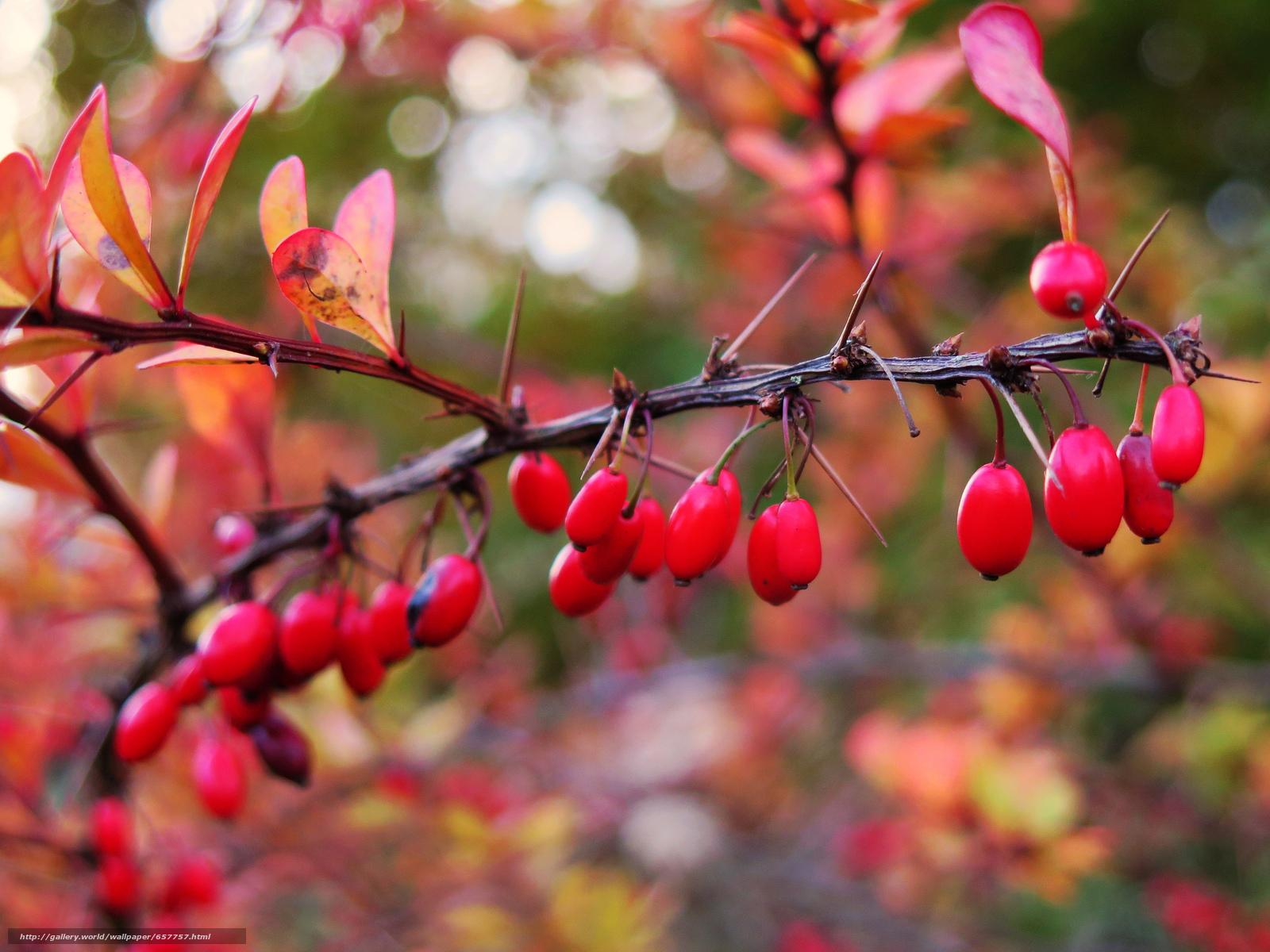 Скачать обои ветка,  ягоды,  плоды,  листья бесплатно для рабочего стола в разрешении 2048x1536 — картинка №657757