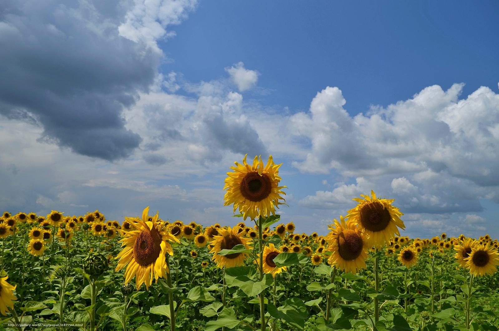 Download wallpaper field,  Sunflowers,  sky,  clouds free desktop wallpaper in the resolution 4928x3264 — picture №657796